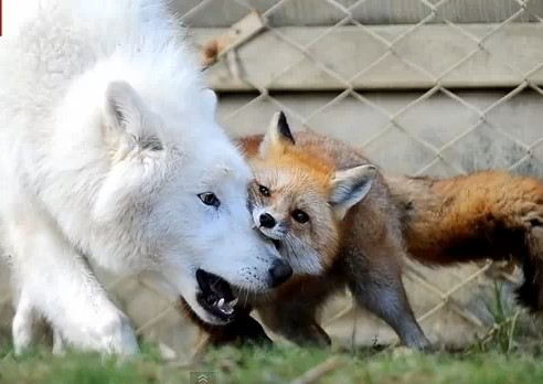 fox wolf